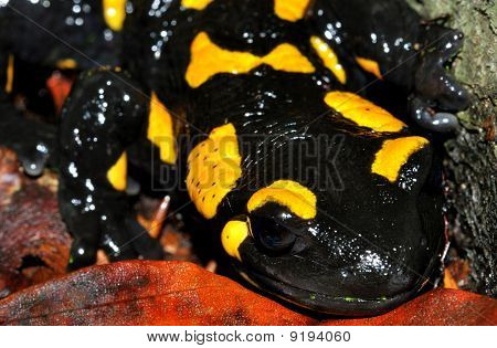 Fire Salamander Full Face