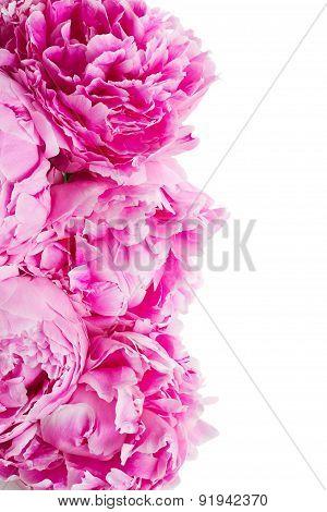 pink   peonies border