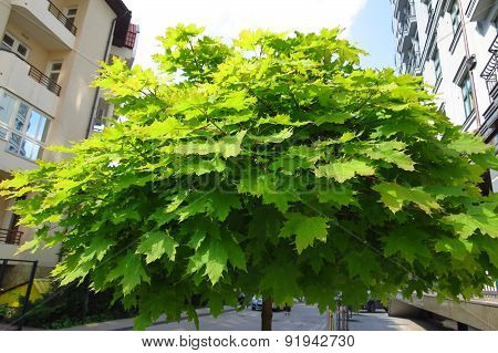 Green maple leaves in city