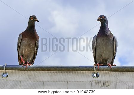 Two Pigeons On A Metal Bar
