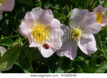 Ladybug On A Flower Of Wild Rose