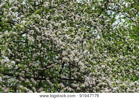 White Flowers Apple Tree Background