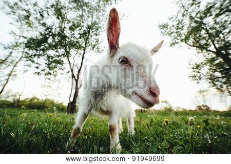 Goatling watching right in camera