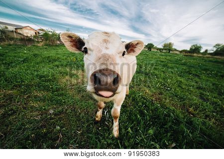 Young cow looking directly at the camera