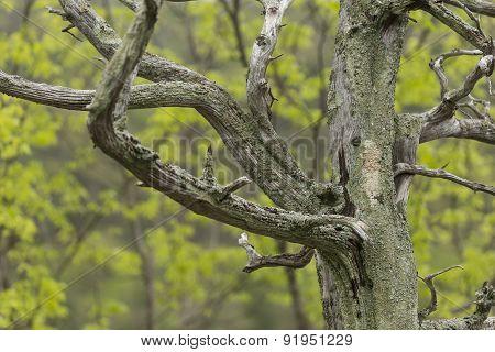 Barren Tree In Spring