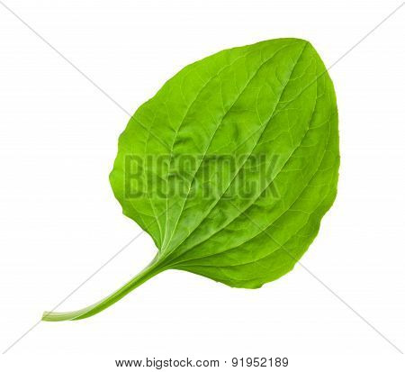 Greater Plantain Leaf