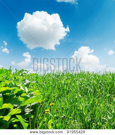green grass closeup and deep blue sky with white clouds