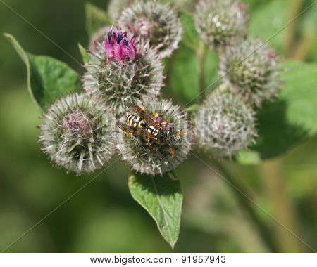 wasp on blooming burdock