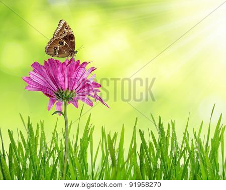 Purple spring flower with dewy grass and butterfly