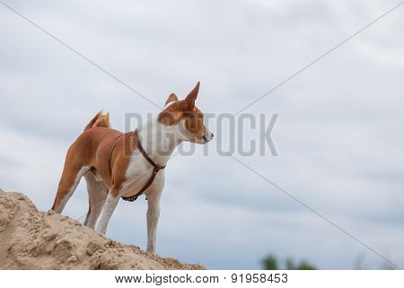 Basenji dog looking into the distance