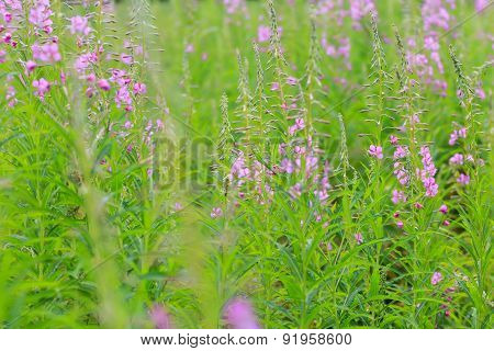 Rosebay Willowherb Or Fireweed Flowering Plants Summer Floral Background