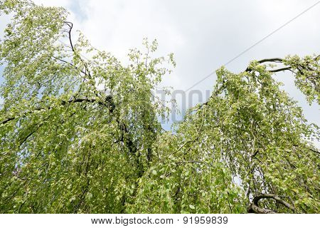 Weeping beech tree.