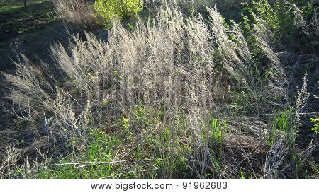 Withered Wormwood Grass