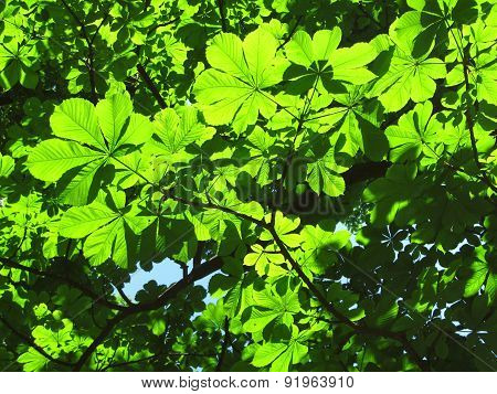 Green leaves of chestnut tree