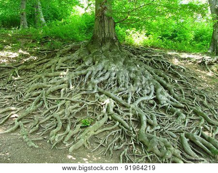 crooked roots