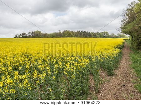Hampshire Rapeseed Field Scene