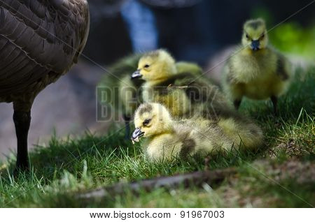 Newborn Gosling Munching On A Seed In The Green Grass