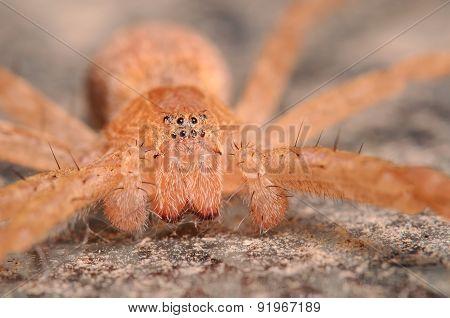 Large Brown Crab Spider