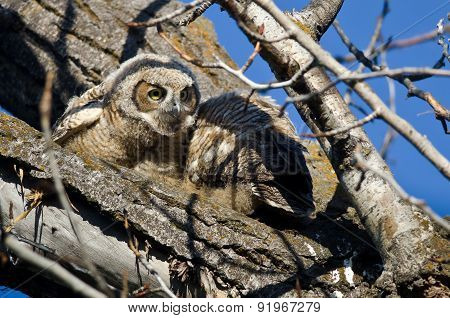 Cute Young Owlet Scanning Its Surroundings While Perched In A Tree