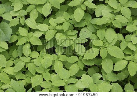 Jewelweed Foliage