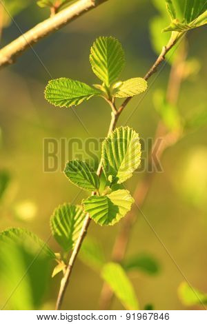 Leaves Of Alder In The Spring