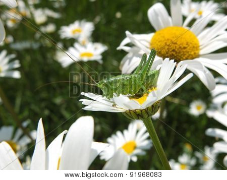 Grasshopper sitting in daisies bloom.
