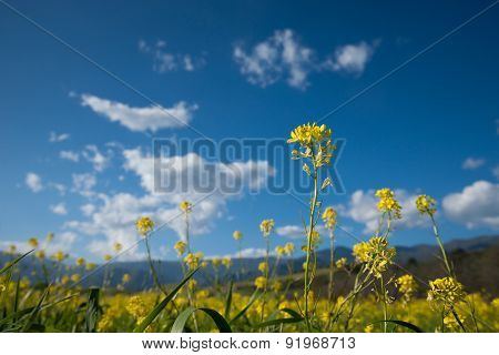Mustard Flower In Isolation
