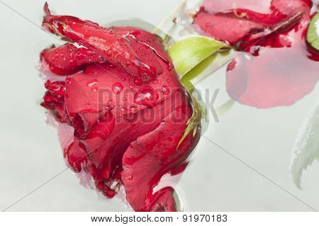 Red Rose Dipped In Water.
