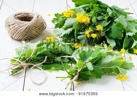 Harvesting Celandine For Herbal Medicine