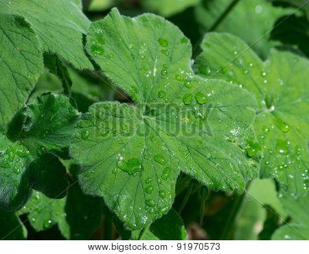 Geranium leaves closeup