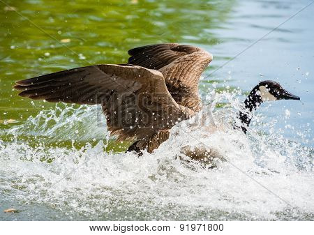 Canada Goose Landing On Pond In Big Splash.