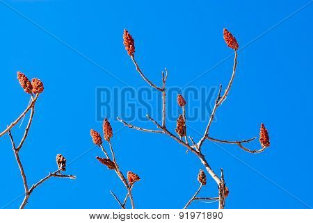 Bare Sumac Branches And Flower Pods On Blue Sky.