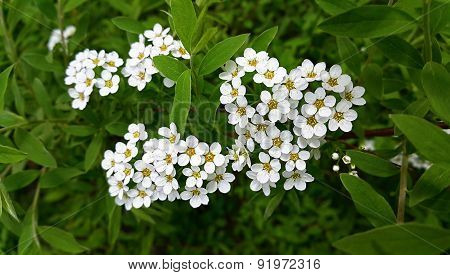 White Flowers Of Spring Bush