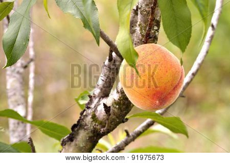 Closeup Of A Peach Growing On A Peach Tree
