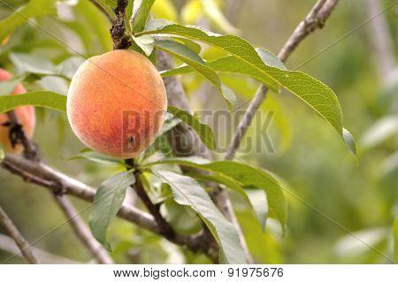 Peach Closeup On Peach Tree