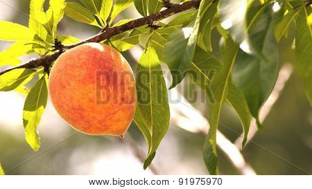 Letterbox Image Of One Peach On A Peach Tree