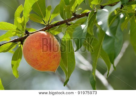 Peach Growing On Tree In Spring