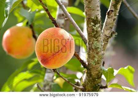 Sunny Peaches Growing In Spring