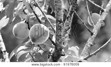 Black And White Panorama Of Peaches On Tree