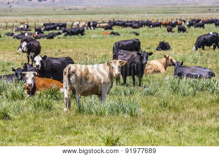 Cows Grazing At The Meadow