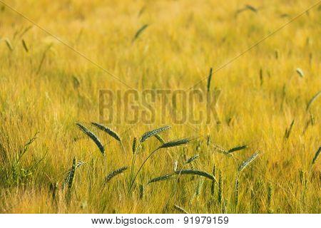 Wheat field in end of day,close up