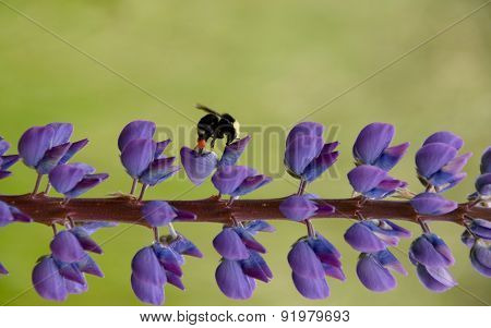 Bumble Bee On Delphinium Road