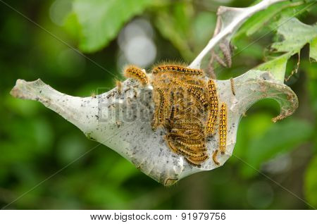 Nest Of Tent Caterpillar In Discovery Park