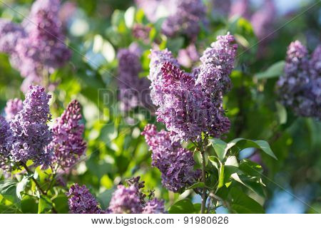 Branch of spring lilac flowers