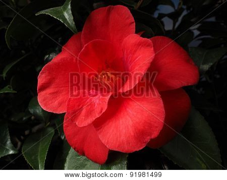 Red Camellia japonica  in full bloom