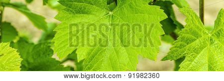 Background Of Fresh Grape Leaves