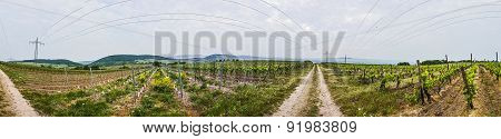 Panorama Of Vineyard In Spring Time