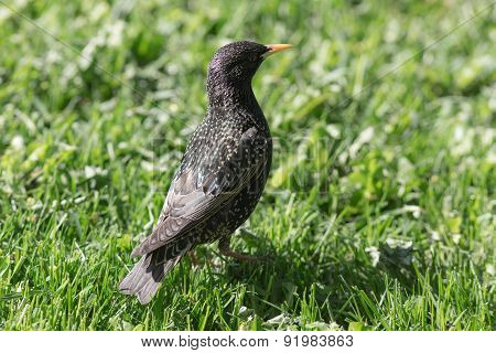 Starling On Green Grass