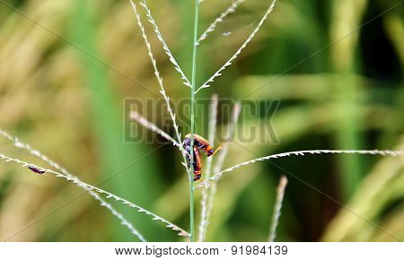 Insects breeding on a grass flower