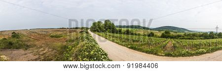 View  Of Vineyard In Spring Time